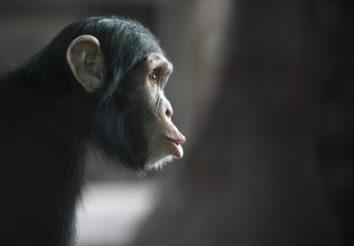 Chimp Trekking In Tanzania