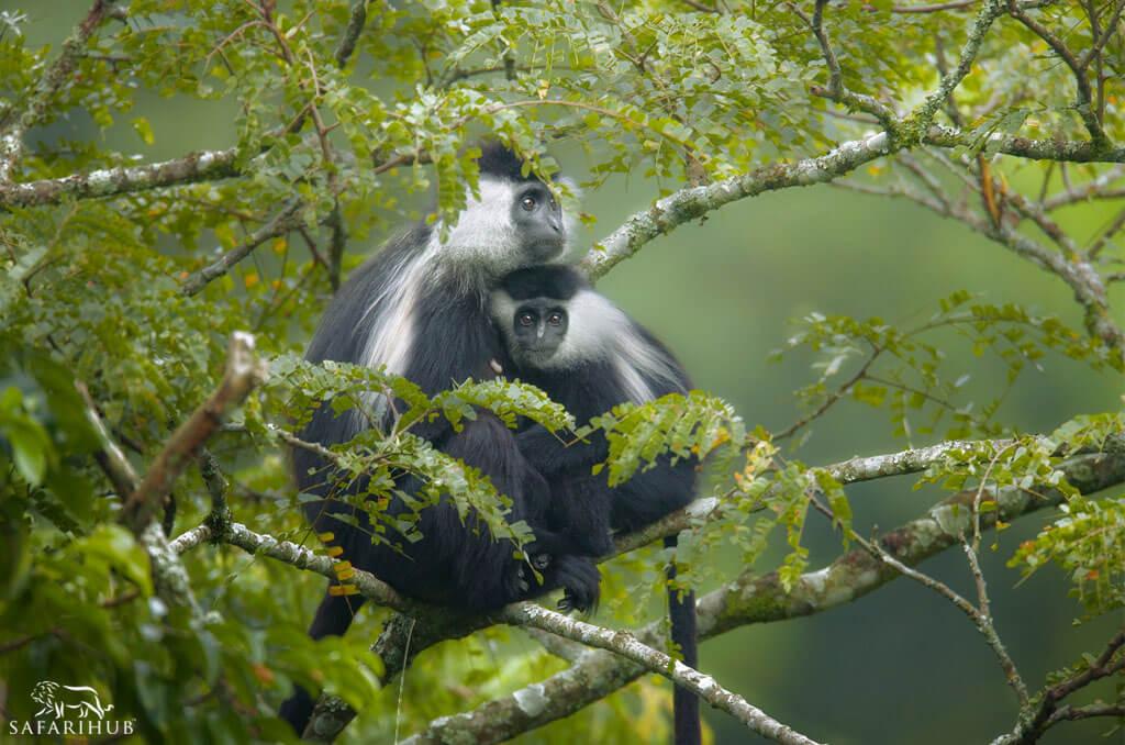 Primate Trekking in Nyungwe Forest