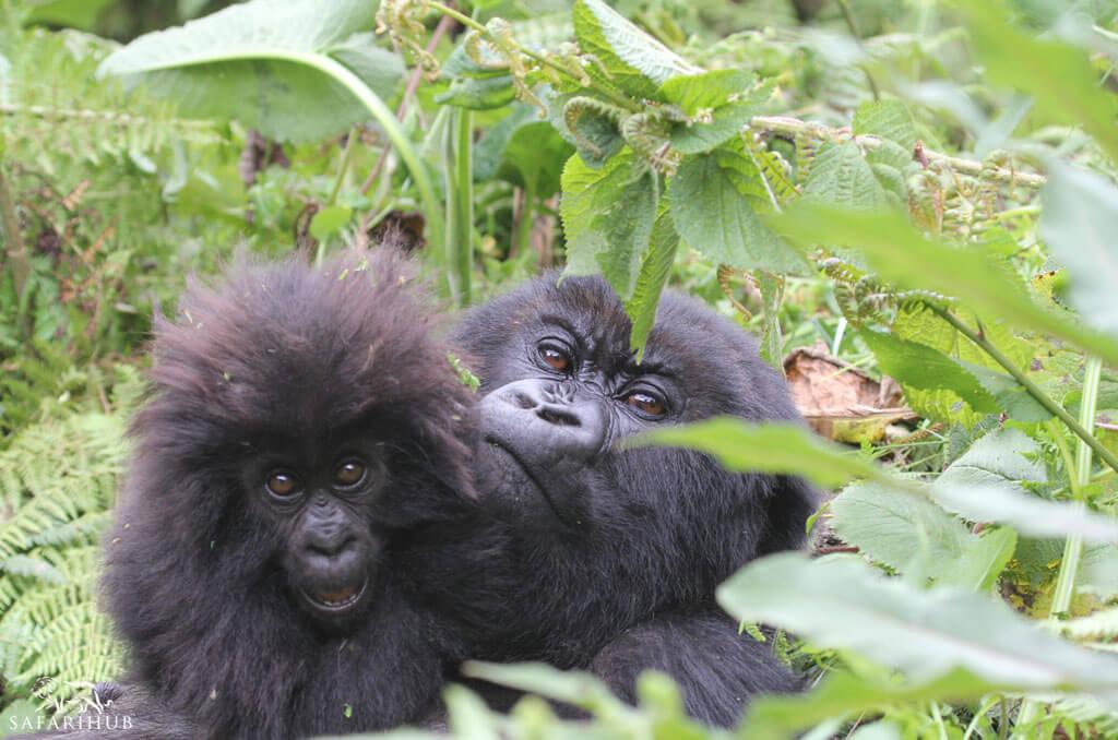 Gorilla Trekking on Virunga Volcanoes