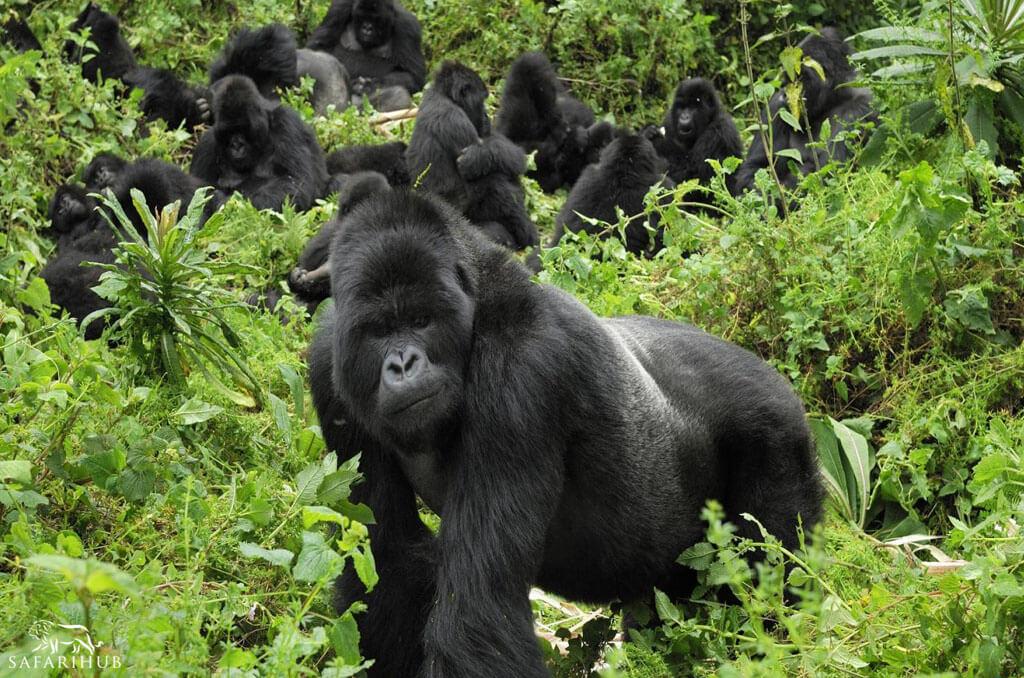 Gorilla Trekking on Karisimbi Volcano