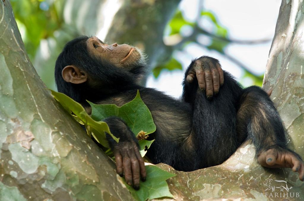 Kyambura Gorge Chimpanzaa Trekking