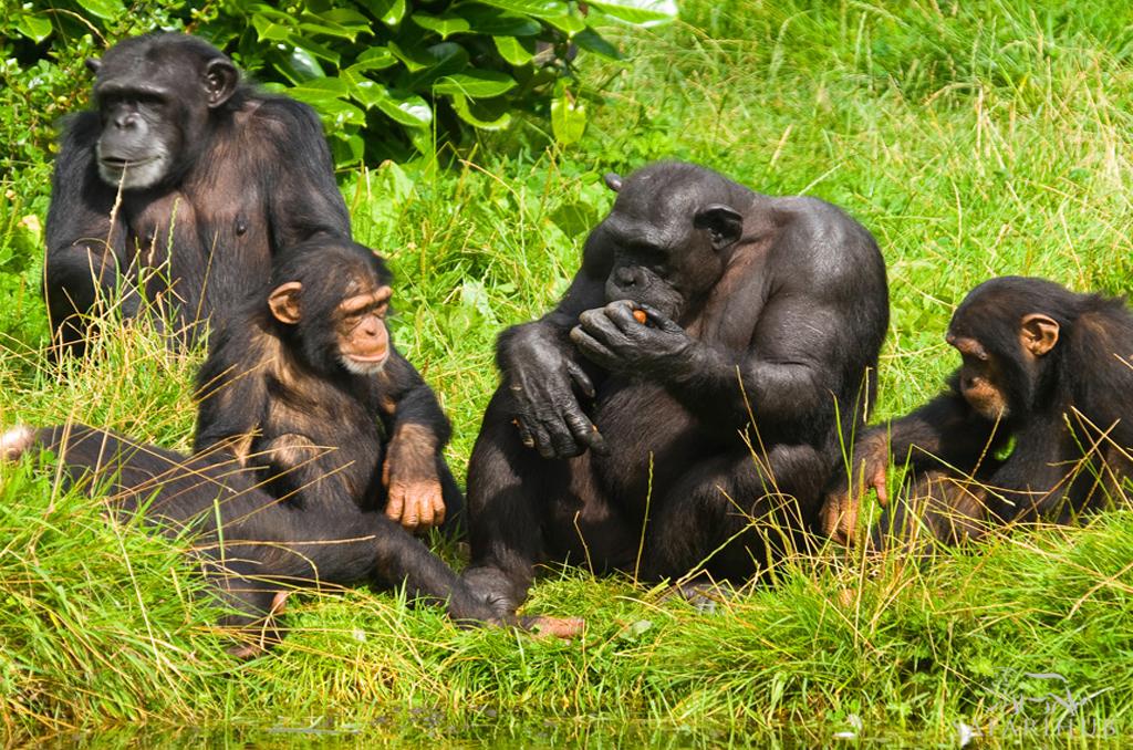Chimp Trekking in Kibale Forest