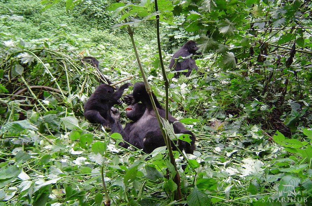 Gorilla Tracking in Bwindi Forest