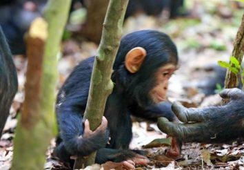 Chimpanzee Trail