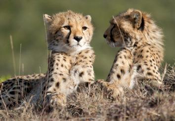 Classic Cheetah Safari