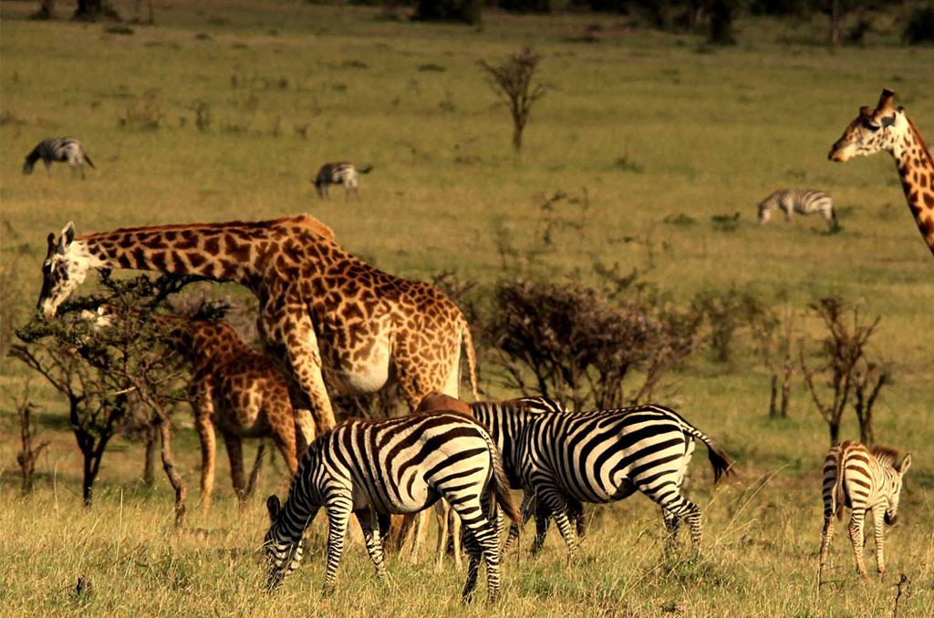 Masai Mara Game Reserve - Nairobi