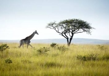 Acacia Safari