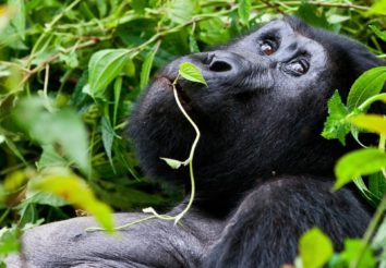 Mountain Gorilla Trekking Adventure
