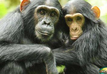 Gorillas and Primates