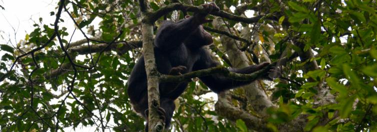 Gorilla and chimpanzee trekking and safari - 7 Best Uganda Safari Tour Packages