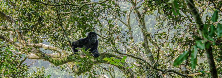 Gorillas and Primates - 7 Best Uganda Safari Tour Packages