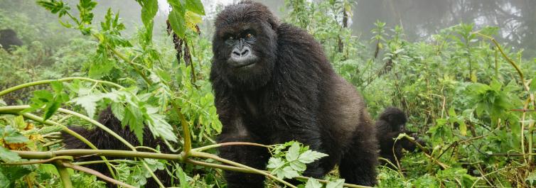 Mountain Gorilla Trekking Adventure - 7 Best Uganda Safari Tour Packages