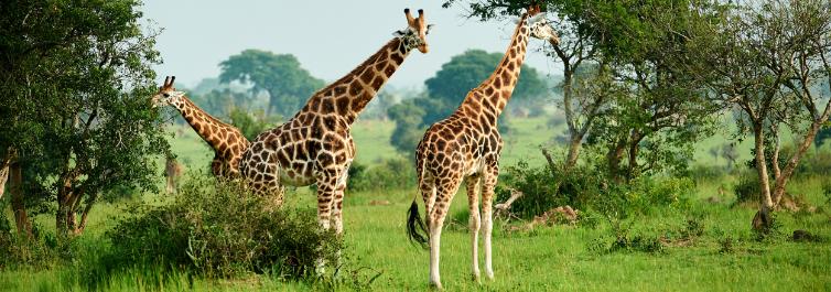 Uganda Safari and Primates - 7 Best Uganda Safari Tour Packages