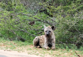 10 Incredible Facts about Hyenas